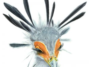 Limited Edition Prints Secretary bird