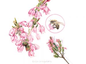 Erica irregularis - Gansbaai heath Limited Edition Prints Made Marian Buy Online