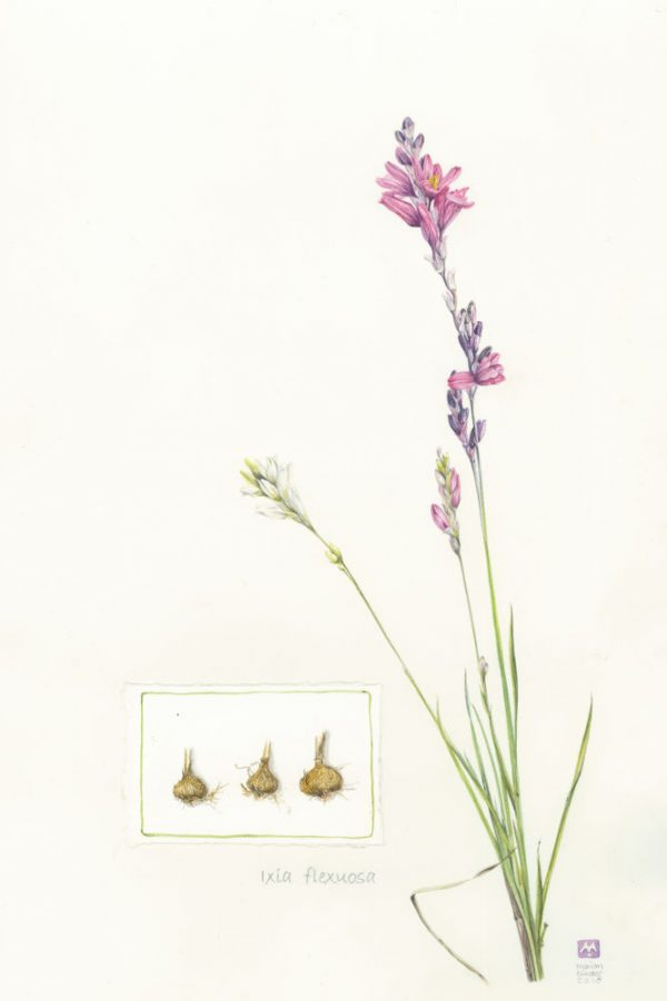 Ixia Flexuosa - limited edition prints Made Marian Buy Online