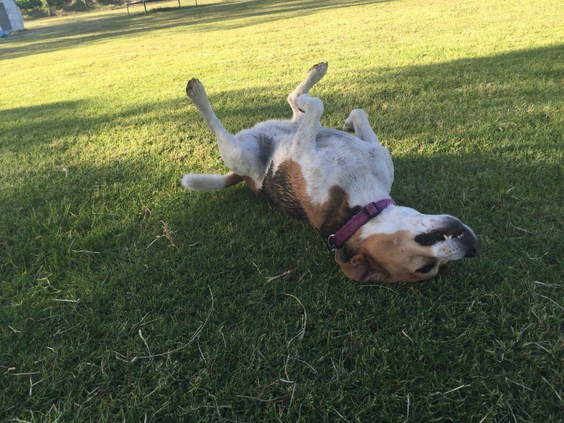 DogBlog - Happy beagle - Happy dog